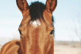 Fototapeta Konie - Cute brown horse looking at camera close up for farm animal portrait.  Western agriculture industry lifestyle for equine.