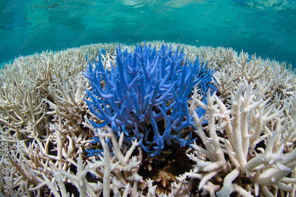 Fototapeta Fluorescing coral among bleached reef
