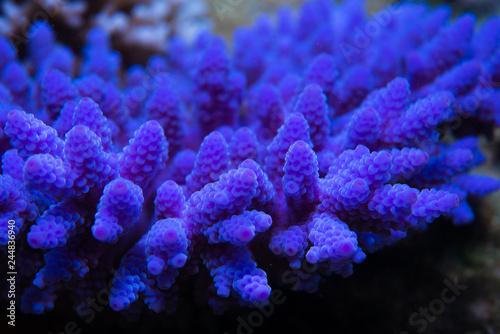 Bright neon purple fluorescing coral