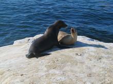 Sea Lions, La Jolla, Fighting,...