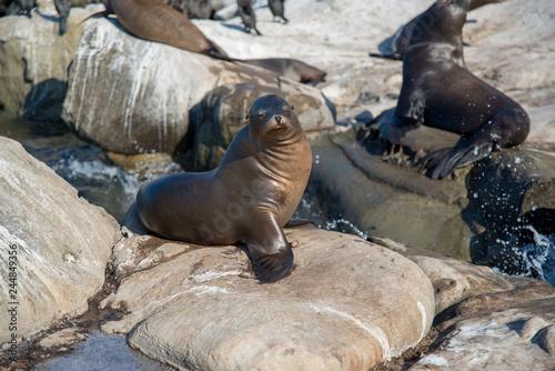 Photo  Sea Lions of La Jolla Cove, San Diego, California