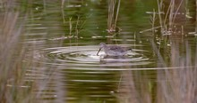 Plover Wading In Shallow Water Wetlands