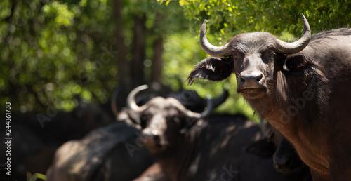 Foto op Aluminium Buffel Two buffalos in the wild zambia