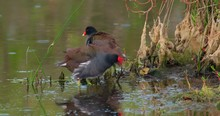 Beautiful Shot Of Two Commons Gallinule Wading On The Shore Of Wetlands And Swampy Water In The Everglades
