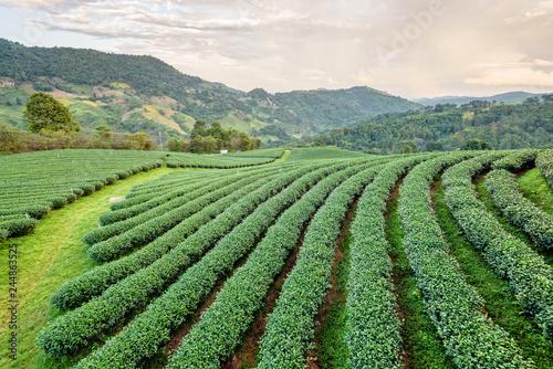 Fotobehang Olijf Landscape of green tea plantation
