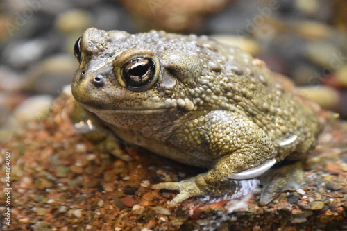 California Toad