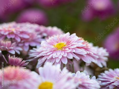 Poster de jardin Dahlia Pink chrysanthemums growing in flower garden, close up view. Floral background. Crown daisies with pink petals. Marguerites blooming in summer. Blurred background. Selective soft focus