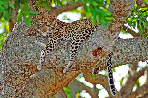 Beautiful African Leopard  resting in a large tree, watching, curious.
