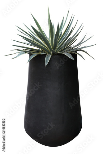 Fotografie, Obraz Agave plant with black pot container isolated on white background for houseplant