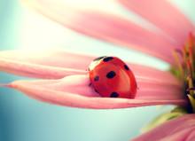 Red Ladybug On Echinacea Flowe...