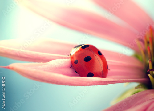 red ladybug on Echinacea flower, ladybird creeps on stem of plant in spring in g Wallpaper Mural