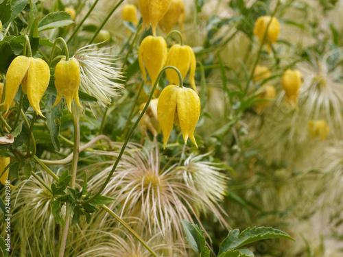 Fotografie, Obraz  Clematis tangutica - Fleurs jaunes or en forme de clochettes retombantes de Clém
