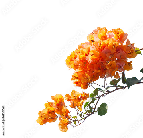 Blooming orange bougainvilleas isolated on white background Canvas Print