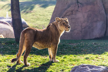A Lioness Standing On The Grass