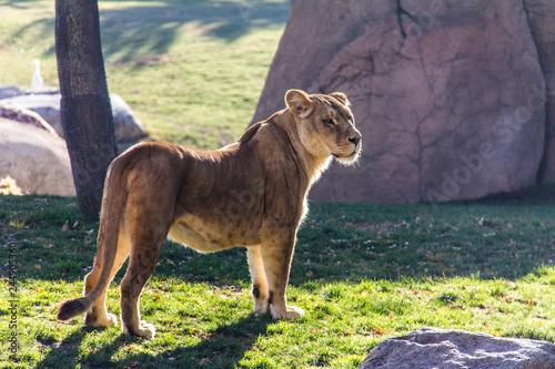Fototapety, obrazy: A lioness standing on the grass