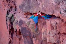 Red And Green Macaws, Ara Chlo...