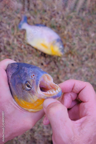 Fotografia, Obraz  Man's hand holding freshly caught piranha fish with big teeth in Mato Grosso, Pa
