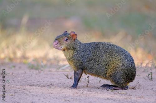 Photo Agouti, aguti or common agouti, Dasyprocta, family of the Dasyproctidae, a roden