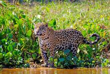 Jaguar, Panthera Onca, Cuiaba River, Porto Jofre, Pantanal Matogrossense, Mato Grosso Do Sul, Brazil