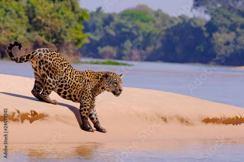 Fotografija  Jaguar, Panthera Onca, Female, Cuiaba River, Porto Jofre, Pantanal Matogrossense
