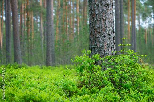Scots pine (Pinus sylvestris) forest Fototapet