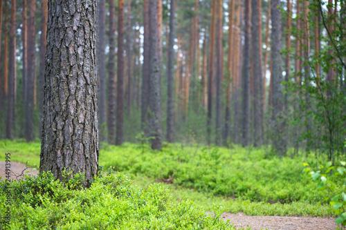 Scots pine (Pinus sylvestris) forest Canvas-taulu