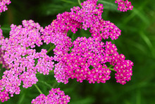 Closeup Of Pink Yarrow Flowers On Soft Green Greass