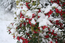 Holly Bush With Beautiful Red ...