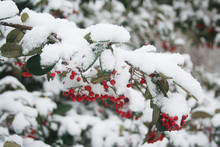 Cotoneaster Branch With Red Berries Covered By Snow In The Garden In Winter Season