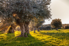 Old Olive Trees Grove In Brigh...