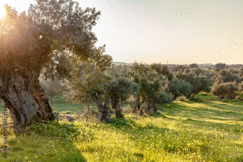 Foto op Plexiglas Olijfboom old olive trees grove in bright morning sunlight Alentejo Landscape