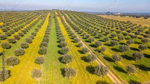Fototapeta Drone aerial view of olive grove in Alentejo Portugal