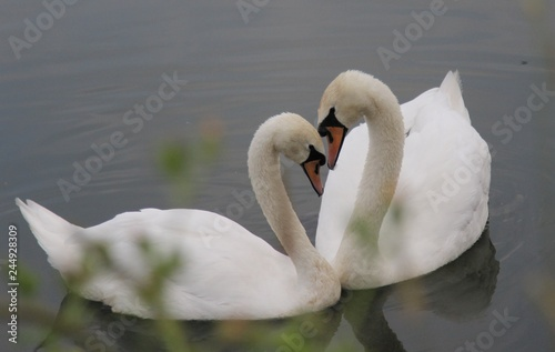 Poster Cygne a pair of white swans swims in the lake, their necks are bent to each other in the shape of a heart