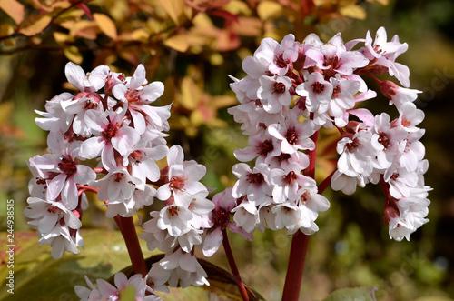 Photo Closeup bergenia flowers in a garden