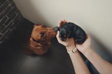 Woman Show Newborn Cute Puppy To Mother Pincher Bog