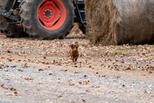 Wiener / Dachshund Dog Running Toward The Camera On A Ranch In Oklahoma