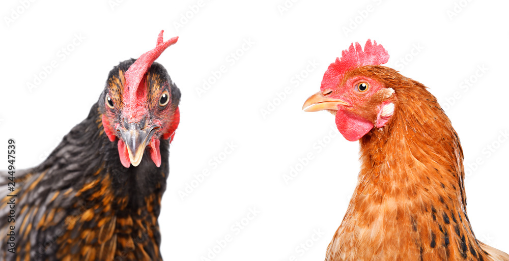 Photo  Portrait of  two chickens isolated on white background