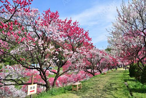 Fototapeta  長野県阿智村 桃源郷 満開の「花桃の里」