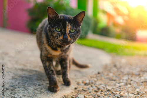 Fotografering  Cute adorable breeding black-yellow cat sitting on the street at the morning