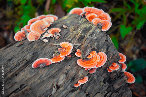 Fotografia, Obraz  close-up shot of polypore mushrooms on timber in rainforest nature