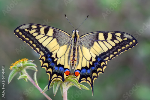Poster Butterfly Closeup beautiful butterflies sitting on flower