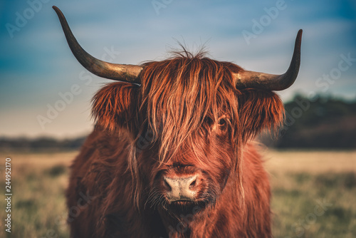 Recess Fitting Highland Cow Hochlandrind Portrait