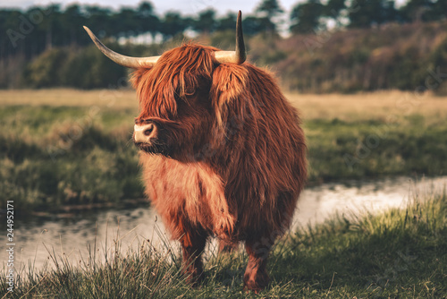 Recess Fitting Highland Cow Hochlandrind am Bach