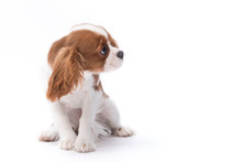 A Small King Charles Spaniel Sitting Isolated On White Background