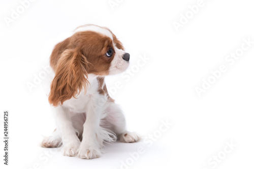 a small king charles spaniel sitting isolated on white background Canvas Print