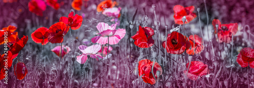 summer meadow with red poppies - 244961905