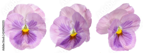 Papiers peints Pansies purple panse flower isolate on white