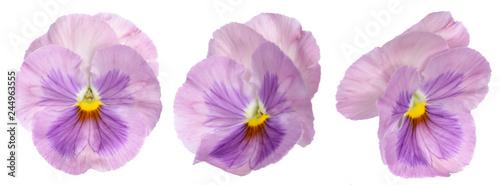 Papiers peints Pansies purple panse flower isolate on white