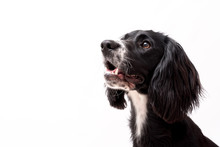 A Black And White Border Collie Photo Shoot Isolated On White Background