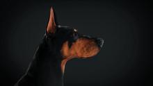 Profile View Of Doberman Pinsc...